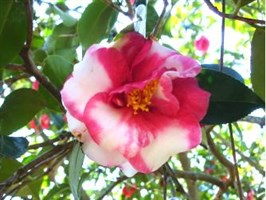 Spring Camellias & Tropical Orchids